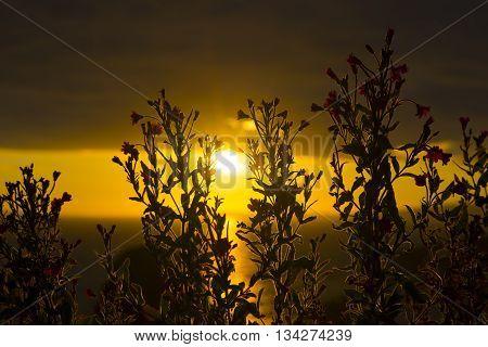 wild atlantic way sunset through wild flowers on the coastline of ballybunion county kerry ireland
