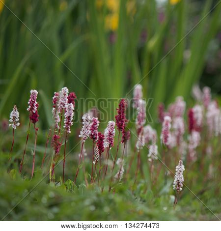 heather meadow blooming in botanical garden at summer morning