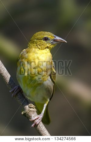 Village weaver (Ploceus cucullatus) resting on a branch with vegetation in the background