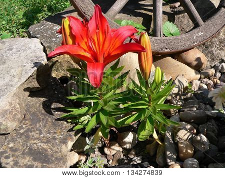 red lily blooming in a rock garden with gravel