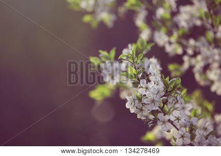 plum blossom natural spring background retro toned effect