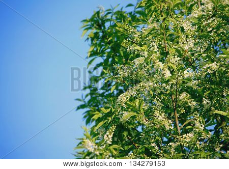 Spring background with fragrant bird cherry blossoms lighted sunshine blue clear sky