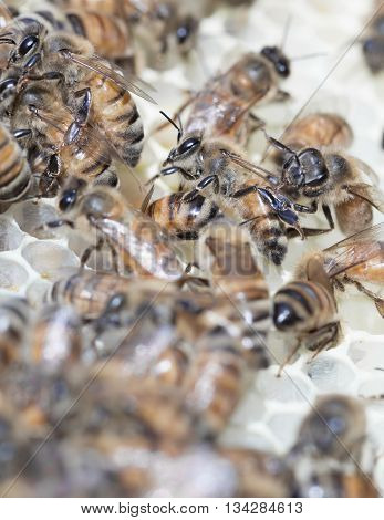 Worker bees producing white wax honey comb during nectar flow with selective focus and copy space.