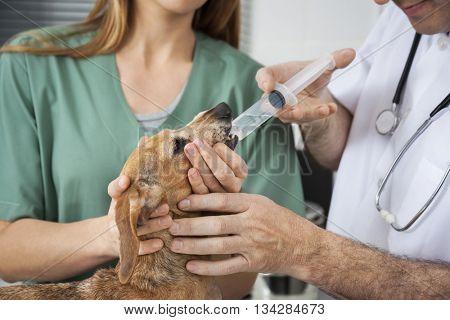 Male Vet's Hands Feeding Medicine To Dachshund By Nurse
