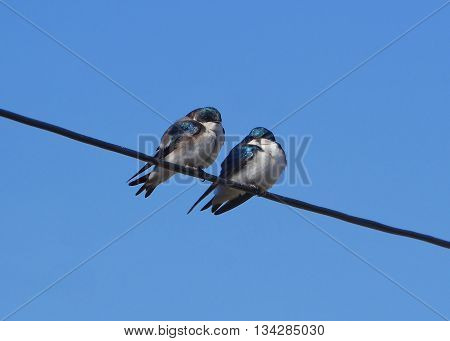 pair of tree swallows perched together on wire