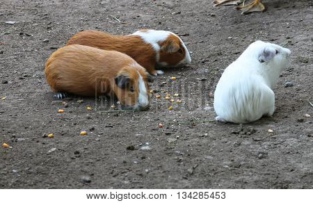 Three colorful guinea pigs eat corn in a barnyard