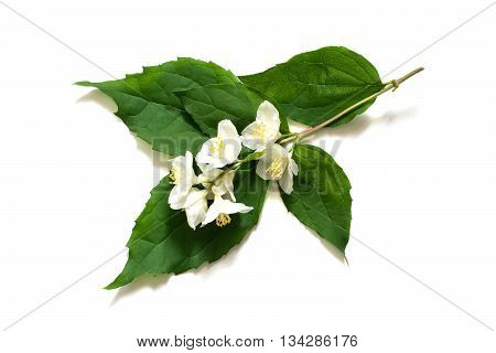 Medicinal plant Philadelphus (Jasmine Mock orange) on a white background. Used in herbal medicine cooking cosmetics and perfumery gardening