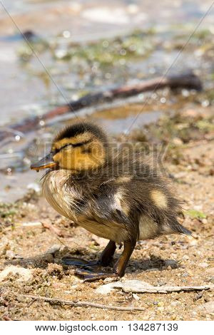 Portrait Of A Young Duckling.