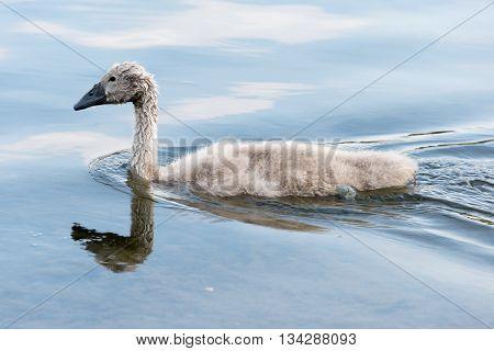White Swan Hatchling Swimming