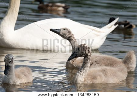 Group Of White Swan Chicklets In Front Of Adult