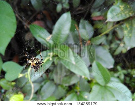 Predatory Big Brown Spider With Hairy Legs Spinning Web.