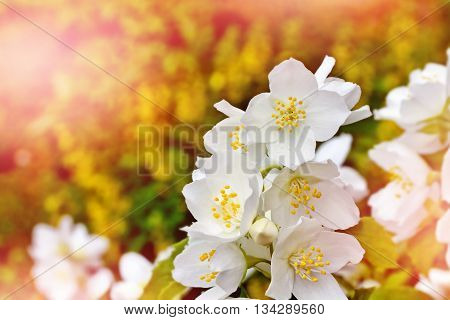 Spring landscape with delicate jasmine flowers. White flowers