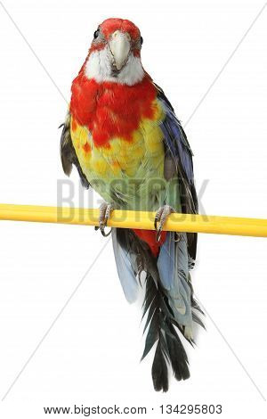a beautiful large colorful parrot isolated on white background