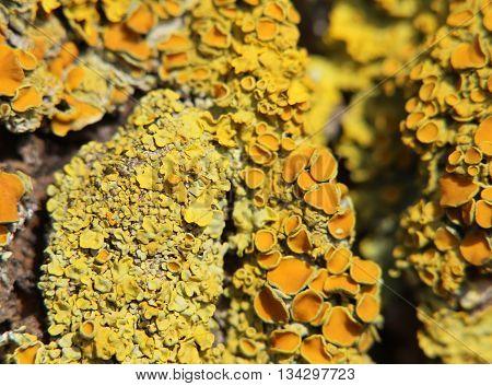 Macro Shot Of The Common Orange Lichen (xanthoria Parietina)
