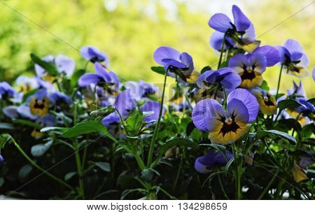 A group of yellow and purple pansies.