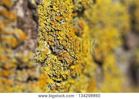 Macro Shot Of The Common Orange Lichen (xanthoria Parietina) With Strong Focus Effect