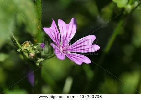 Macro photo of a common mallow flower (Malva sylvestris)