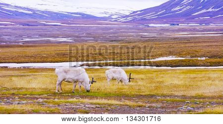 Reindeer eating grass in the advent valley - Adventdalen in Svalbard. Summer in the arctic environment near Longyearbyen.