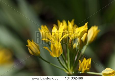 Macro photo of golden garlic or lily leek flowers (Allium moly).