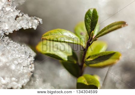 Cowberry Bush  In Spring  Thawing Snow Close-up Shot