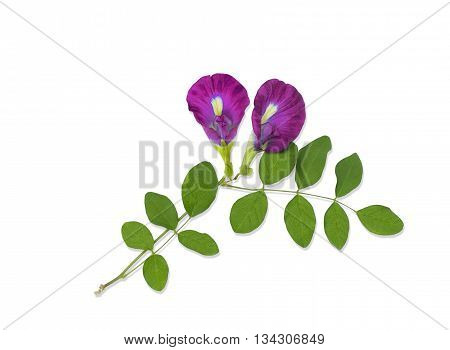 Pink Butterfly Pea Flower On White Background
