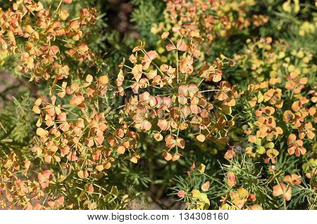 Cypress spurge (Euphorbia cyparissias). It is native to Europe and was introduced to North America in the 1860s as an ornamental plant.
