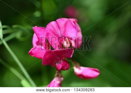 Flowers of the tuberous pea (Lathyrus tuberosus).