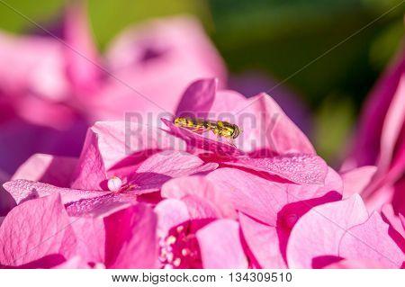 trip to hydrangea - wasp on hydrangea flower.
