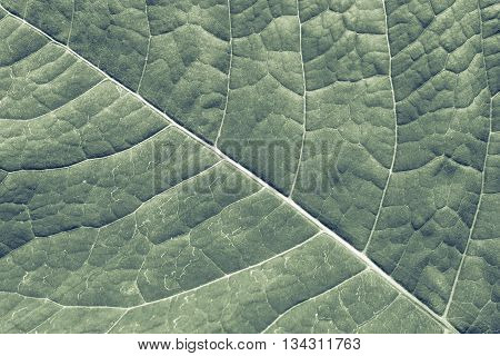 texture of a surface of a leaf of a plant with streaks closeup for a abstract natural natural background or for wallpaper