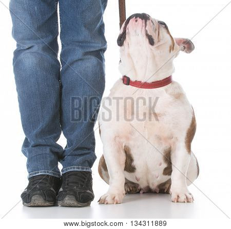 dog sitting in the heal position on white background