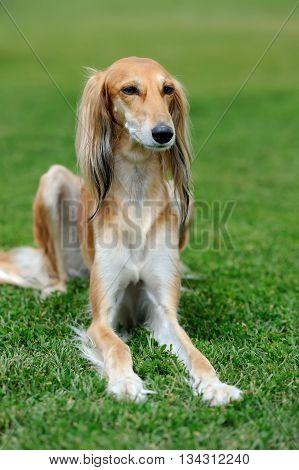 Borzoi Dog In Grass