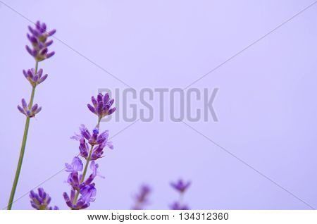 Lavender flower violet Lavender flowers in nature with copy space Lavandula