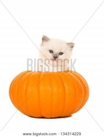 Cute ragdoll baby cat in an orange pumpkin isolated on a white background