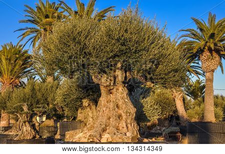 Old olive and palm trees offered for sale in Spain.