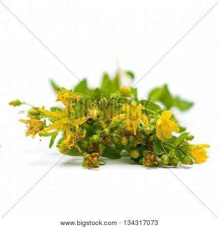 Tutsan (Saint-John's-wort) herbal medicine - medicinal herbs on white series