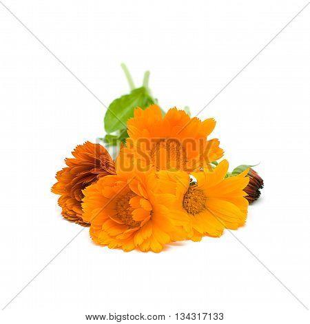 Calendula herbal medicine - medicinal herbs on white series