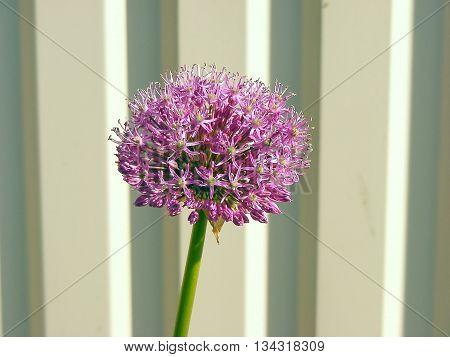 Onion flower bloom close up - macro photo