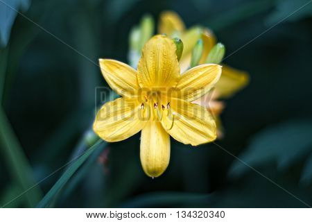 Yellow Lily blossom on a Bush in the summer garden