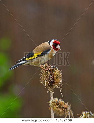 Goldfinch on teasle head