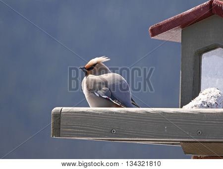 stock image of colorful bohemian waxwing on feeder