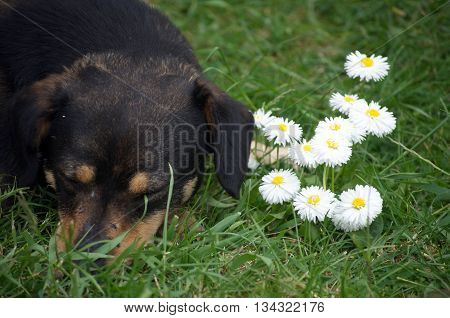 Dachshund Dog lie between white spring flowers
