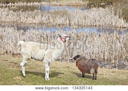 Lama And Sheep On A Natural Pasture In The Spring.