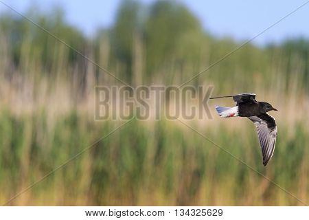Black tern flying over the marsh, lake, reed, bird