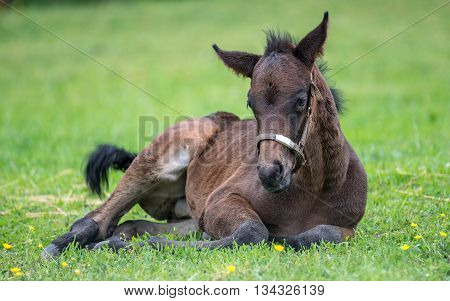 Two week old foal Thoroughbred horse resting in the grass and buttercups