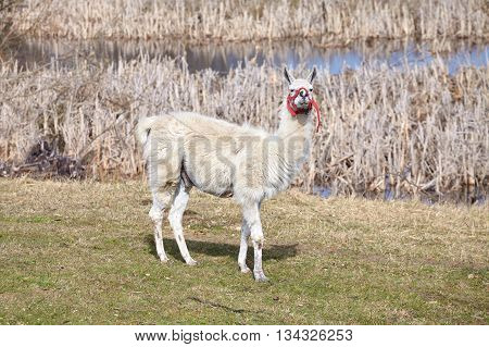 White Lama On A Natural Pasture.