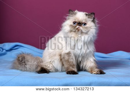 Cute persian seal tortie colorpoint kitten is sitting on a blue bedspread in front of a purple wall background