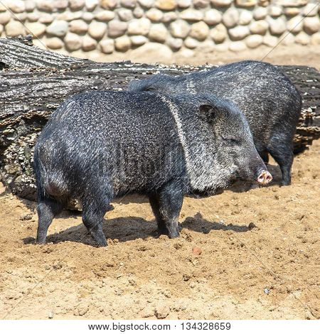 A collared peccary or javelina. Collared peccaries are pig-like animals that inhabit the deserts