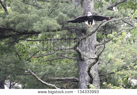 Bald Eagle flying from his perch in a big pine tree