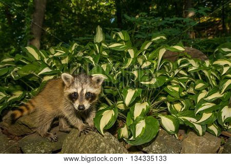 A baby raccoon playing in the garden.