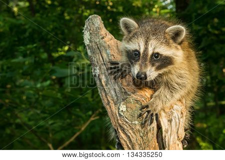 A baby raccoon climbing and old tree in the woods.